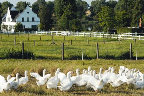 Gänseschar auf Wiese vor Bauernhof